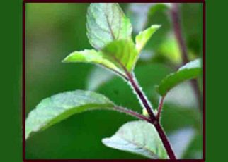 Health benefits of eating Tulsi Leaves, benefits of eating tulsi leaves