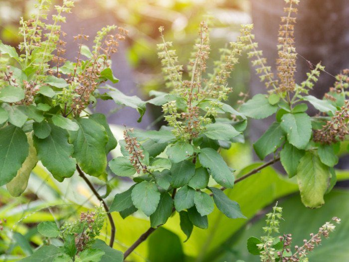 Health benefits of eating Tulsi Leaves, benefits of eating tulsi leaves in empty stomach